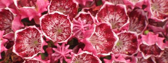 Kalmia latifolia 'heart's desire'